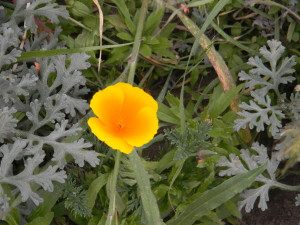 California poppy and artemesia near Muir Beach