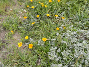 California poppy (Escholzia californica) and artemesia near Muir Beach